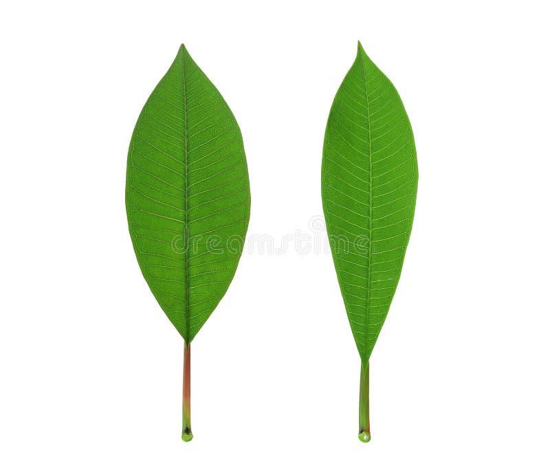 Grönt blad för Frangipani som isoleras på vit royaltyfri fotografi