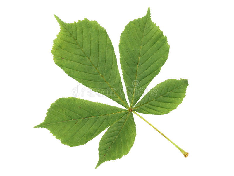 Grönt blad för kastanj som isoleras på vit royaltyfri foto