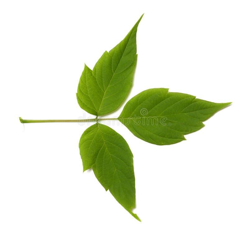 Grönt blad för lönnaska (acernegundo) arkivfoto