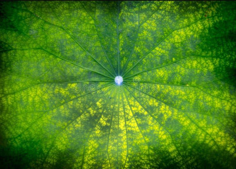 grönt blad för lotusblomma på det mörka dammet i natur arkivfoto