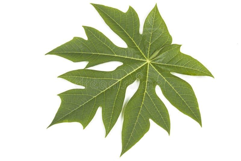 Grönt blad för Pawpawträd på vit arkivbild