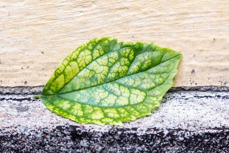 Grönt blad för singel med synliga stora åder royaltyfria foton