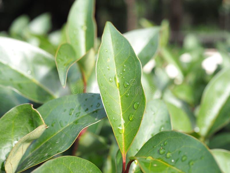 Grönt blad med vatten- eller regndroppar på det royaltyfria bilder