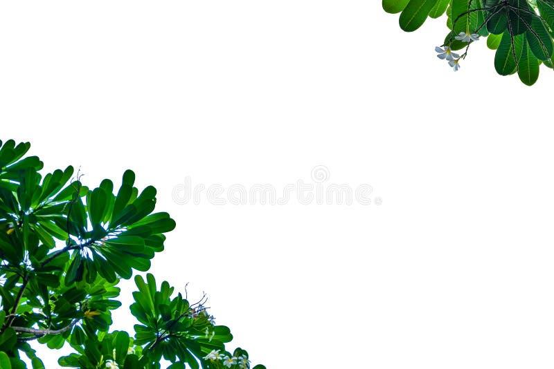 Grönt blad med vit bakgrund arkivbild
