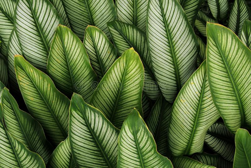 Grönt blad med vita band av Calathea majestica, tropiskt f arkivfoto