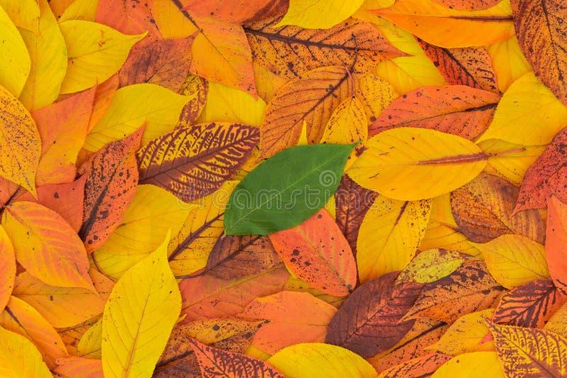 Grönt blad som isoleras från Autumn Red, orange och gula sidor royaltyfri bild