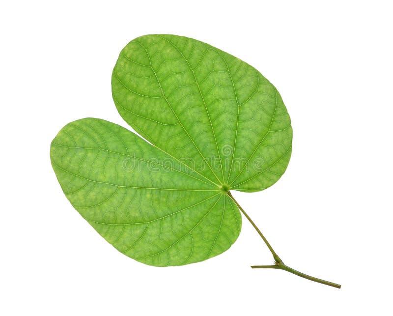 Grönt bladorkidéträd, fjärilsträd som isoleras på vit arkivfoto