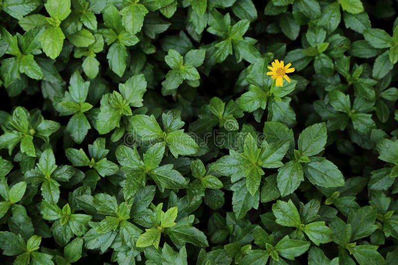 Grönt buskeblad med en liten gul blomma för bakgrund royaltyfri bild