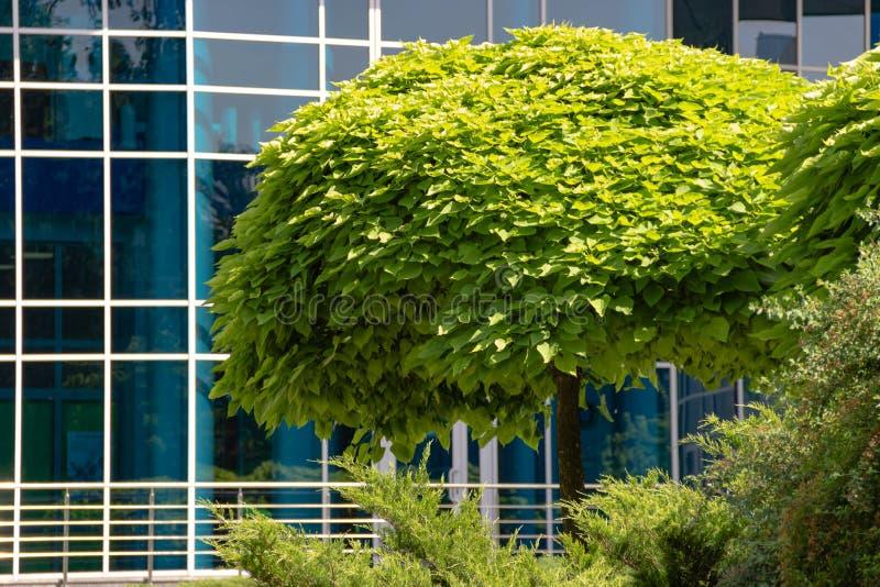 Grönt dekorativt träd med en rund krona på bakgrunden av en kontorsbyggnad med den blåa fönsterreflexionen som avspeglar exponeri royaltyfria foton