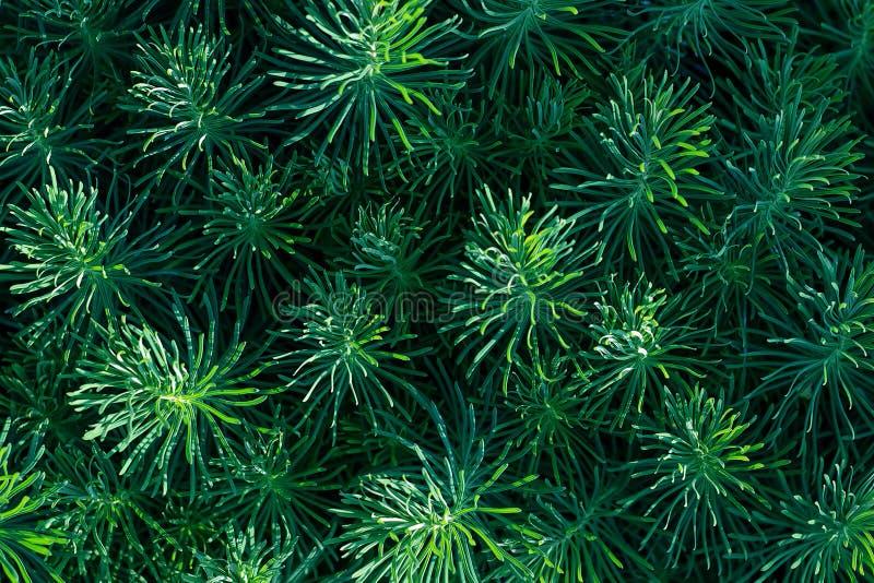 Grönt dekorativt växtgräs, bakgrund, textur Dekorativ perenn för Euphorbiacyparissias i landskapdesignträdgård eller att parkera royaltyfria foton