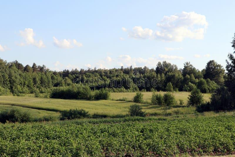 Grönt fält för potatisar med att växa för vita blommor på organiskt bondefält fotografering för bildbyråer