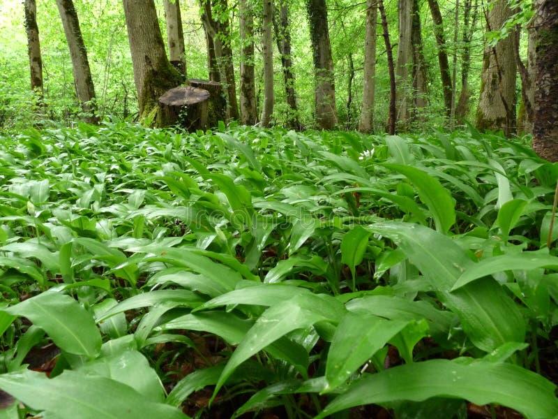 Grönt fält i ursinumen för Allium för skogvårmedicinalväxt också som är bekant som lös vitlök, björnpurjolöken eller björns vitlö fotografering för bildbyråer