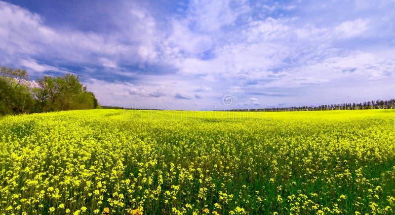 Grönt fält med gulingblommor och blå himmel royaltyfri bild