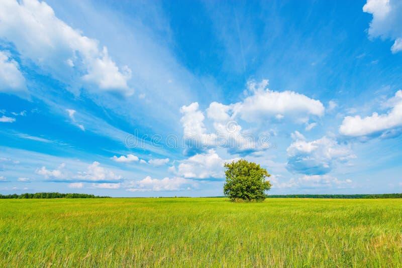 Grönt fält med råg och ensamt träd under den blåa himlen royaltyfri bild