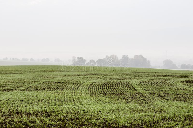 Grönt fält med vetegroddar royaltyfria foton