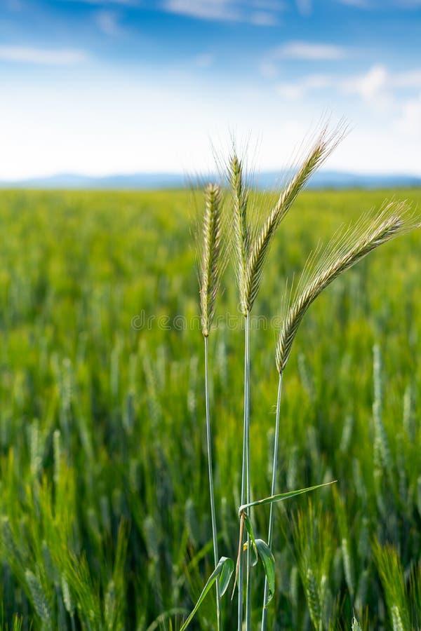 Grönt fält mycket av vete och himmel arkivfoton