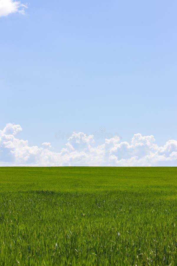 Grönt fält och blå himmel med vita moln, lodlinjen för bakgrundstapetlandskap Lantligt landskap med vetegroddar, himmel fotografering för bildbyråer
