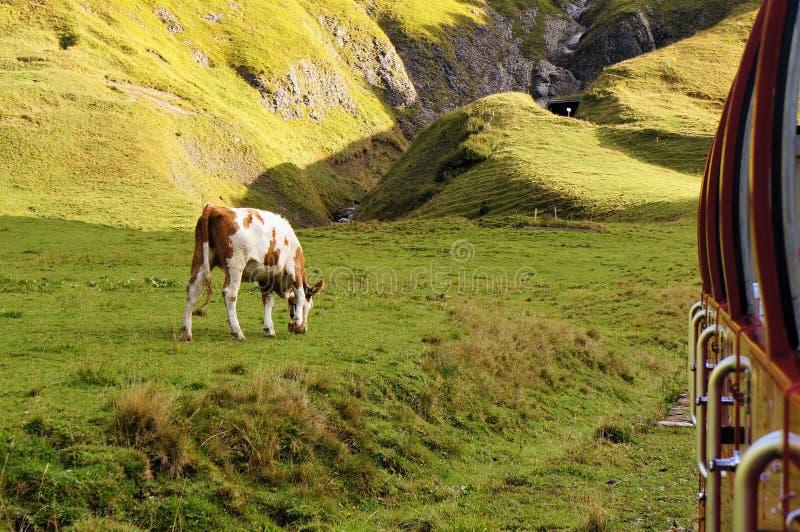 Grönt fält och en ko som äter gräs med berget som bakgrund royaltyfria foton