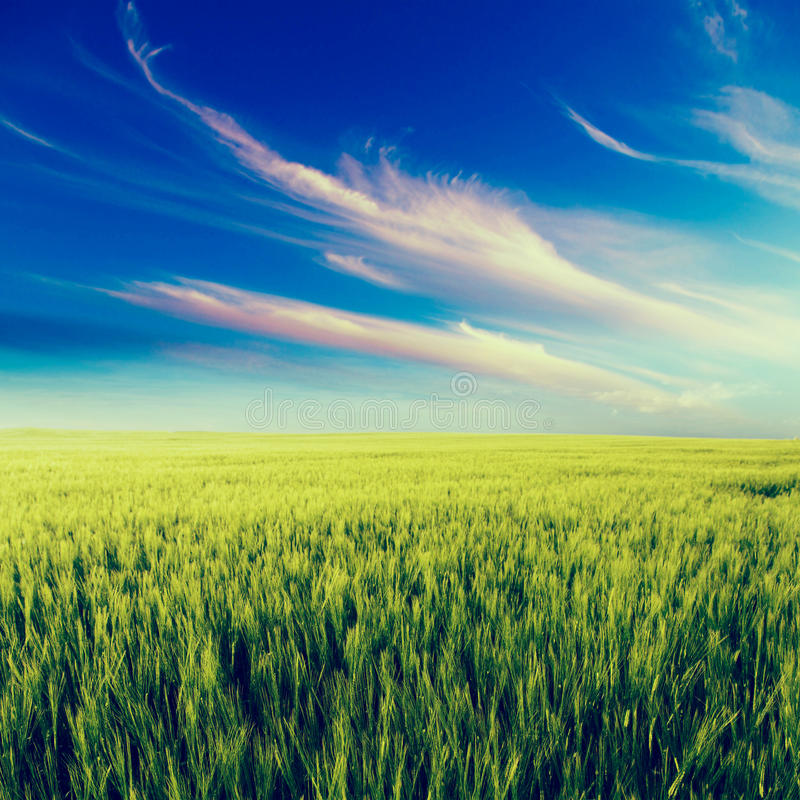 Grönt fältlandskap, jordbruks- fält, korn arkivbilder