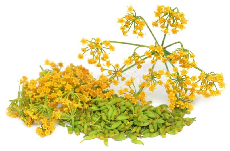 Grönt fänkålfrö med blomman royaltyfri foto