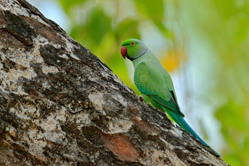 Grönt fågelsammanträde på trädstammen med redehålet Bygga bo denringed parakiter, Psittaculakrameri, härlig papegoja i naturen royaltyfri foto