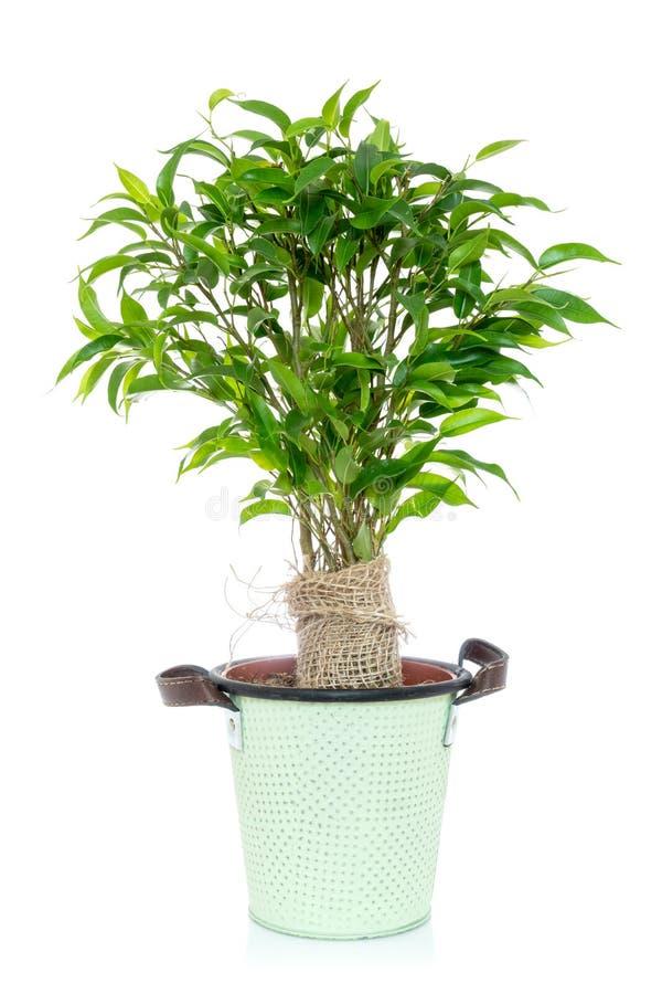Grönt fikusträd i en blomkruka royaltyfri fotografi