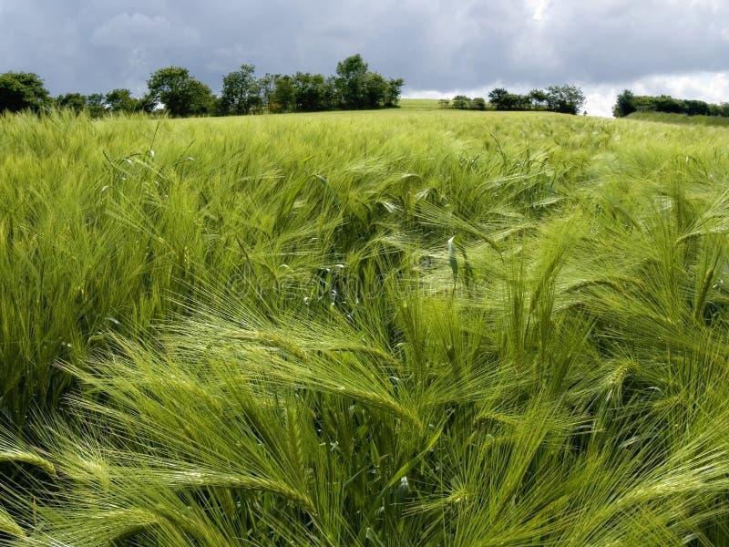 grönt fjädervete för fält arkivbilder