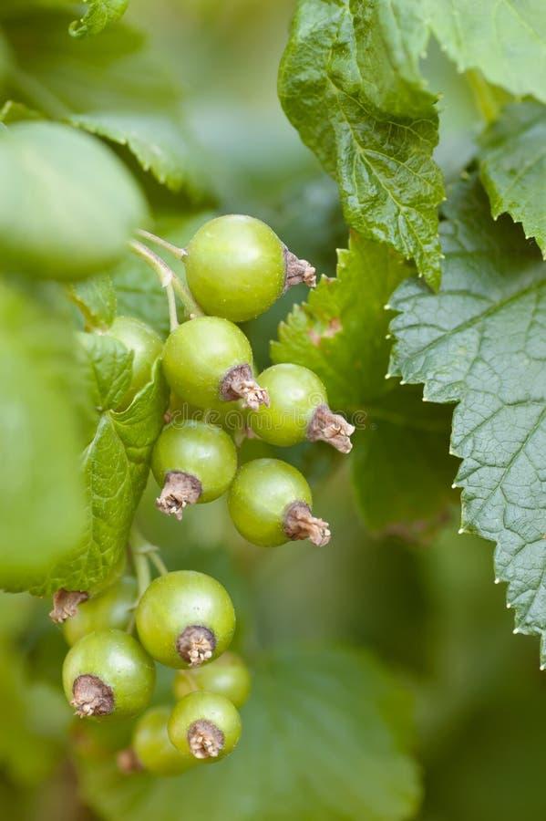 Grönt fokuserat omoget mjukt för grupp för svart vinbär royaltyfri foto