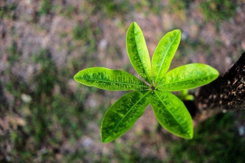 Grönt frangipaniträd i foto för bästa sikt royaltyfri fotografi