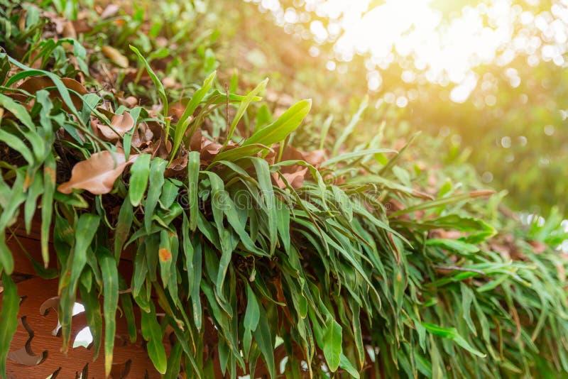 Grönt glöd för mossa för ormbunkeparasitväxt över det bästa taket royaltyfri fotografi