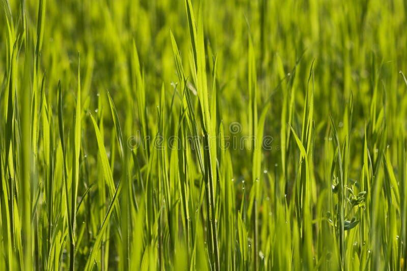 Grönt gräs royaltyfria foton