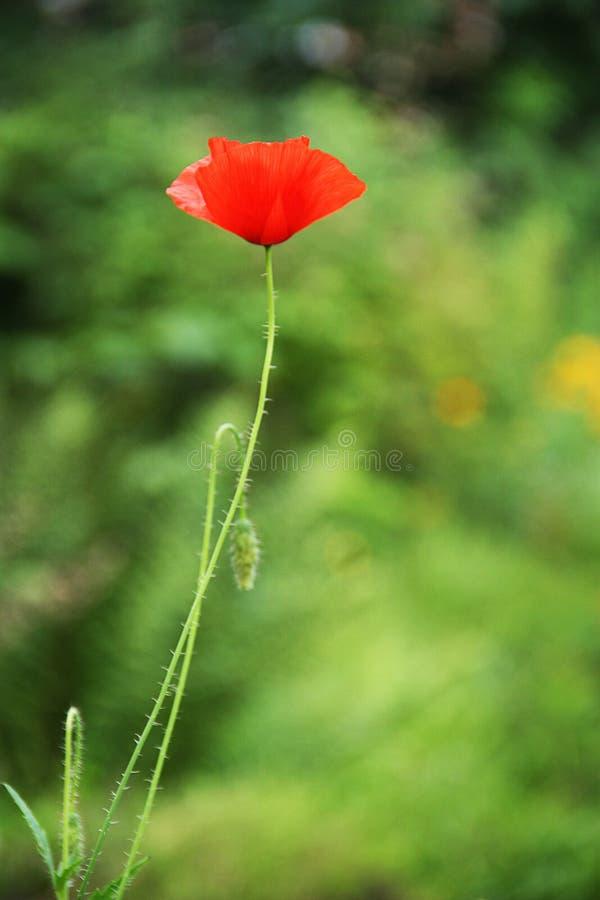 Grönt gräs för röd blommavallmo arkivfoto