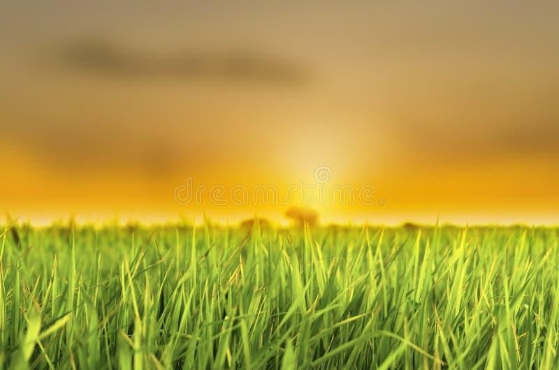 Grönt gräs för risfält på solnedgånghimmelmolnet Landskap som brukar thai risbakgrund royaltyfri foto