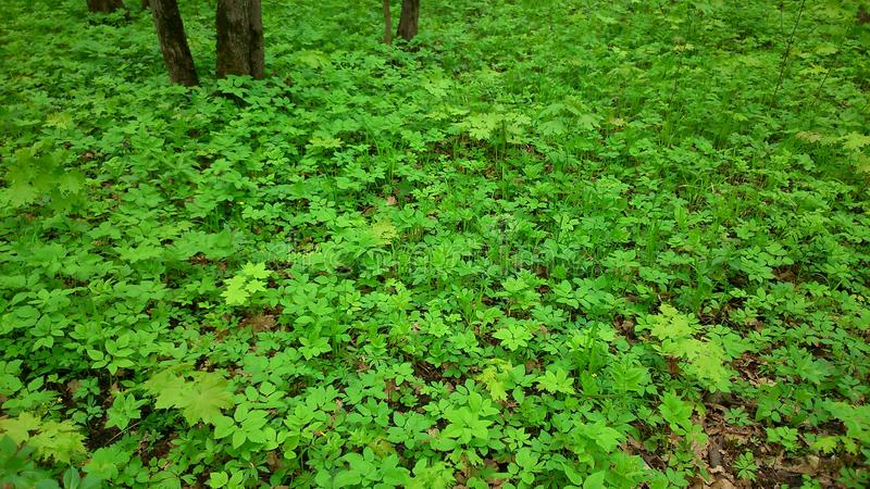 Grönt gräs för skog royaltyfri fotografi