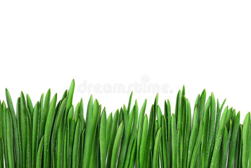 Grönt gräs med dagg, gräns som isoleras på vit bakgrund royaltyfri bild