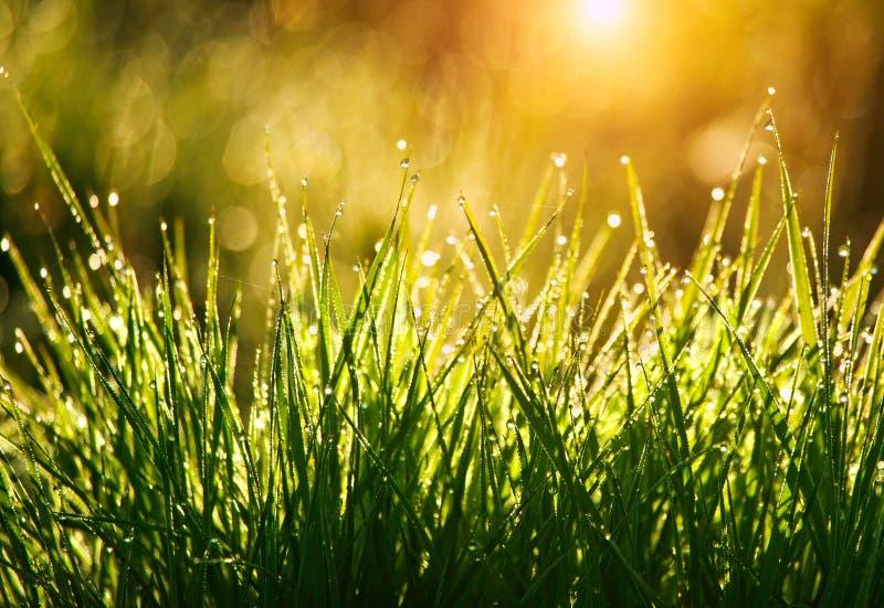Grönt gräs med droppar av dagg på soluppgång i vår i solljusbakgrundsskönhet av naturen som väcker vegetation royaltyfria foton