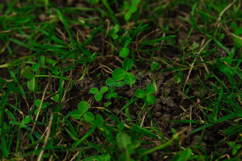 Grönt gräs med växt av släktet Trifoliumsidor som planterar arkivfoton