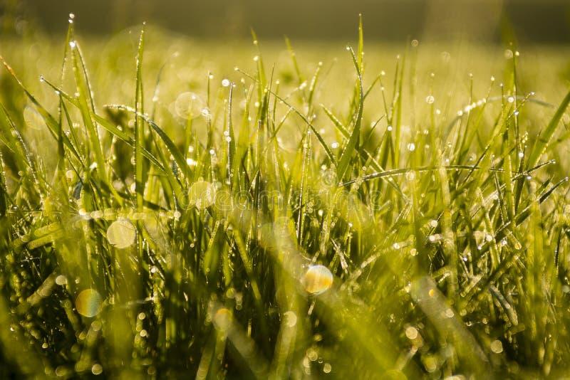 Grönt gräs med vatten tappar, tidigt på morgonen, solilsken blick royaltyfri foto