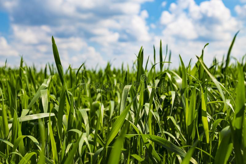 Grönt gräs mot den blåa molniga himlen arkivbilder