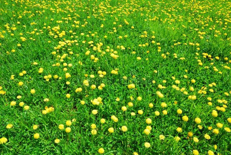 Grönt gräs och gulingmaskrosen blommar i vår arkivfoto