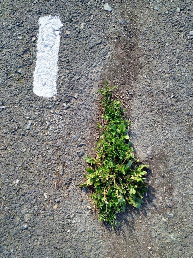Grönt gräs på den gråa asfalten Fläck som målas med vit målarfärg arkivfoton