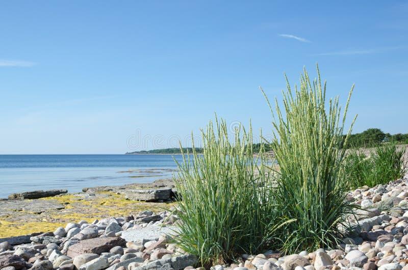 Grönt gräs på ett stenigt och plant vaggar kusten royaltyfria foton