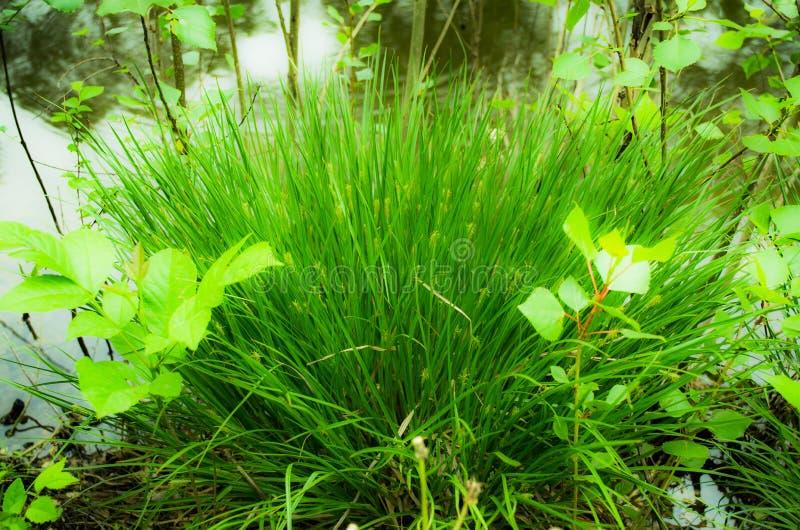 Grönt gräs på flodbanken royaltyfria bilder