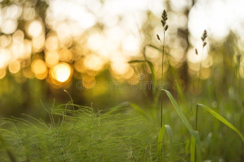 Grönt gräs på solnedgångabstrakt begreppbakgrund Suddighet bokeh, makro royaltyfria bilder