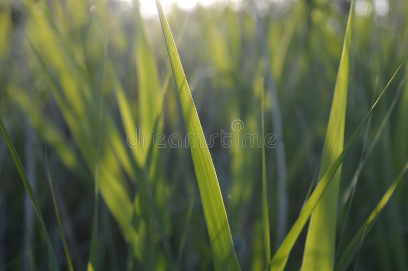 Grönt gräs på solsken Jurmala Lettland royaltyfri fotografi