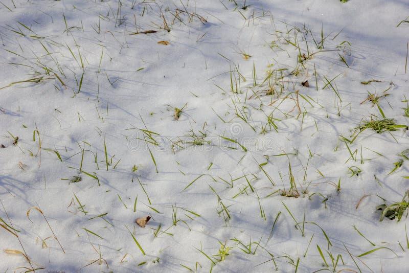 Grönt gräs som täckas med insnöat vintern arkivfoton