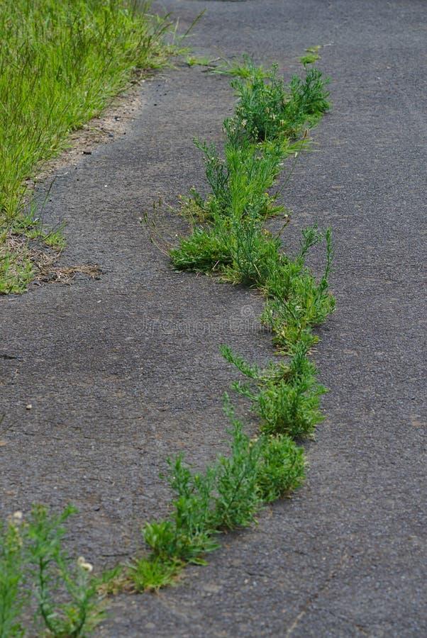 Grönt gräs som växer på grå asfalt royaltyfria foton