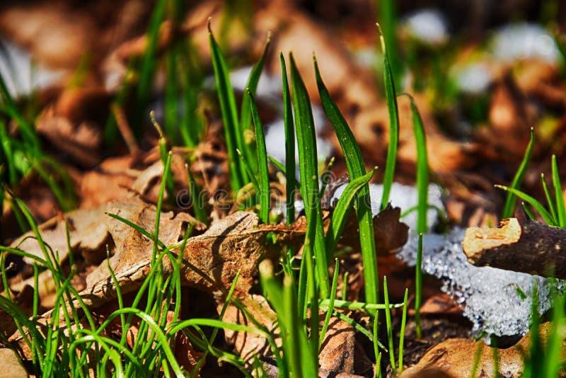 Grönt gräs under smältning vitt insnöat den varma midwintersolen arkivbilder