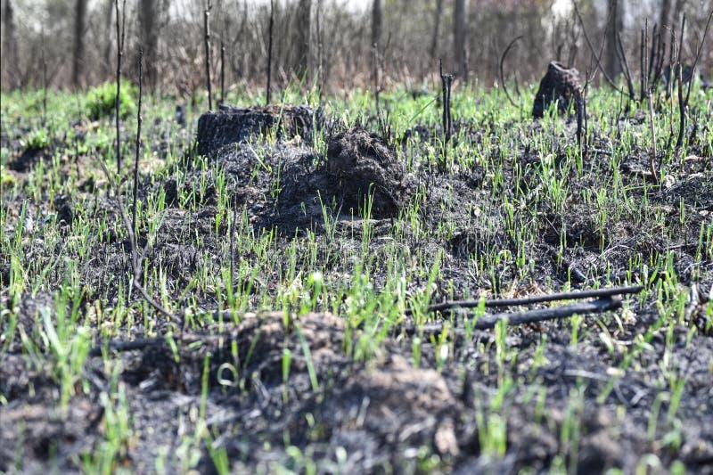 Gr?nt gr?s v?xer i skogen efter en brand arkivbilder