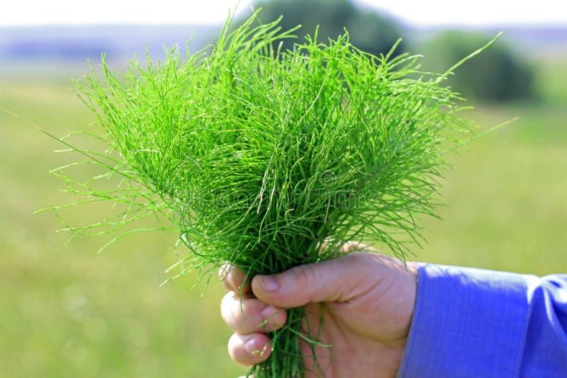 Grönt horsetailgräs i hand för man` s royaltyfri foto